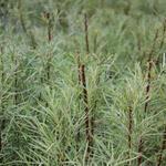 Rozemarijnwilg - Salix elaeagnos subsp. angustifolia