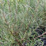 Salix purpurea - Bittere wilg - Salix purpurea