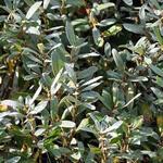 Salix Helvetica - Wilg, Zwitserse dwergwilg - Salix Helvetica