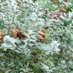 Salix repens var. nitida - Kruipwilg - Salix repens var. nitida