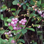 Symphoricarpos x doorenbosii 'Mother Of Pearl' - Sneeuwbes, Klapbes - Symphoricarpos x doorenbosii 'Mother Of Pearl'