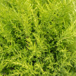 X Cuprocyparis leylandii 'Castlewellan' - Leylandcipres - X Cuprocyparis leylandii 'Castlewellan'