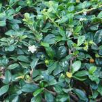 Cotoneaster dammeri 'Major' - Dwergmispel - Cotoneaster dammeri 'Major'