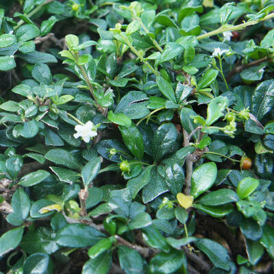 Cotoneaster dammeri 'Major' -