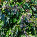 Hedera colchica - Hedera colchica - Perzische klimop, Kaukasische klimop