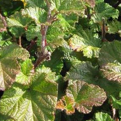 Rubus tricolor 'Betty Ashburner' - Braambes - Rubus tricolor 'Betty Ashburner'