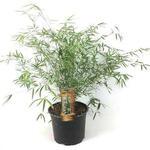 Fargesia angustissima - Bamboe - Fargesia angustissima