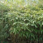 Sasa palmata f. nebulosa - Kleine bamboe - Sasa palmata f. nebulosa