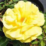 Rosa  'Freesia clb' - Roos, klimroos - Rosa  'Freesia clb'