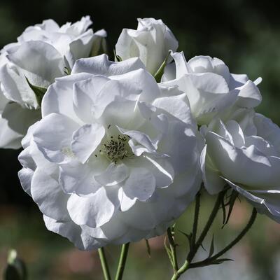 Rosa 'Alba Meidiland' -