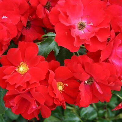 Rosa 'Austriana' -