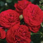 Rosa 'Bordeaux' - Roos - Rosa 'Bordeaux'