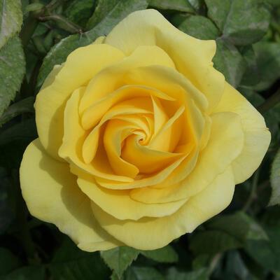Rosa 'Carte d'Or' -