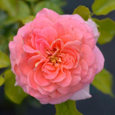 Rosa 'Concerto 94' -