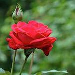 Roos - Rosa 'Dame de Coeur'