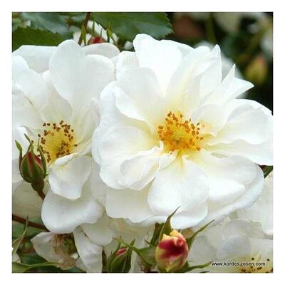 Rosa 'Diamant'  -