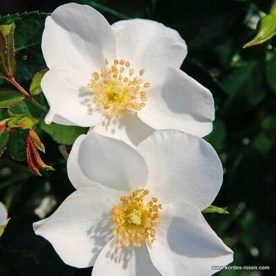 Rosa 'Escimo' -