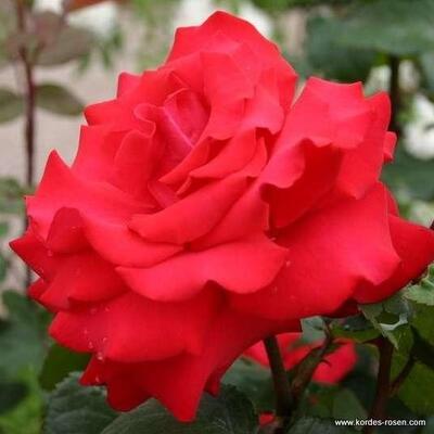 Rosa 'Grande Amore'  -