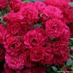 Roos - Rosa 'Gärtnerfreude'