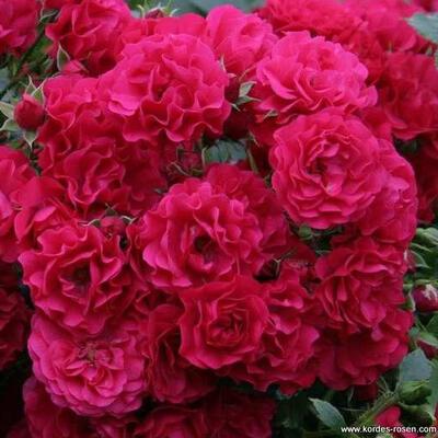 Rosa 'Gärtnerfreude' -