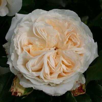 Rosa 'Kosmos' -