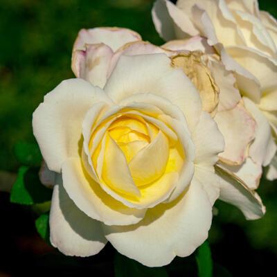Rosa 'La Perla' -
