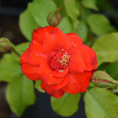 Rosa 'La Sevillana' -
