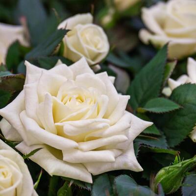 Rosa 'Madame Anisette' -