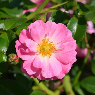 Rosa 'Magic Meidiland' -