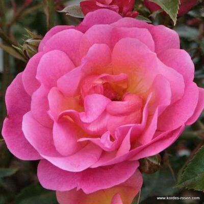 Rosa 'Maxi Vita' -