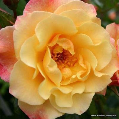 Rosa 'Moonlight' -