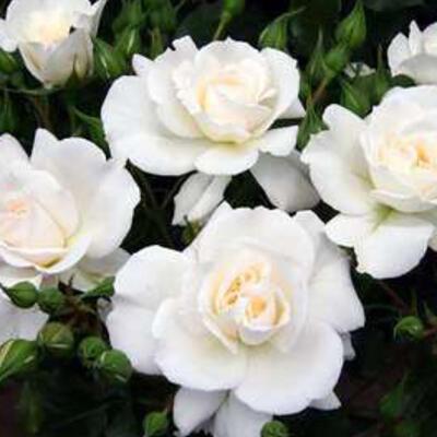 Rosa 'Petticoat' -