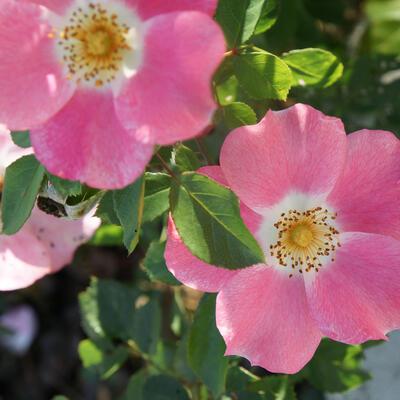Rosa 'Pink Meidiland' -