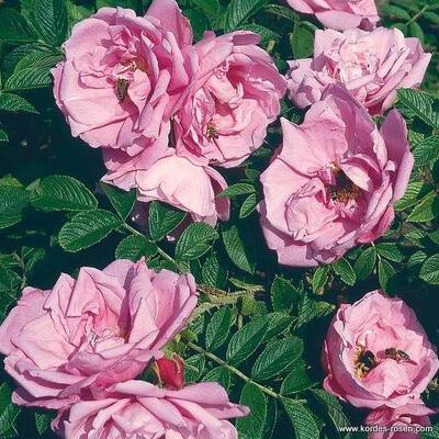 Rosa 'Pink Roadrunner' -