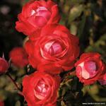 Rosa 'Planten un Blomen' - Roos - Rosa 'Planten un Blomen'