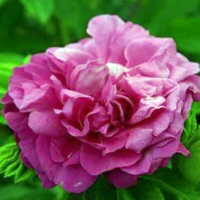 Rosa 'Purple Roadrunner' -