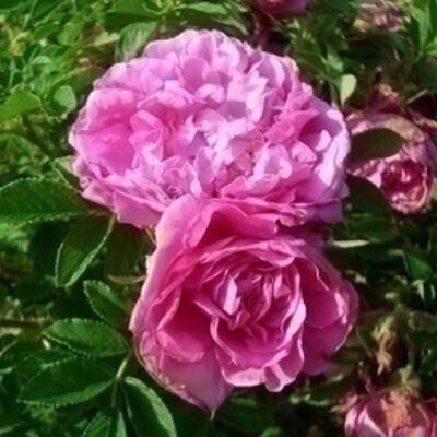 Rosa 'Romantic Roadrunner' -