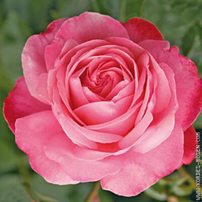 Rosa 'Rosanna' -