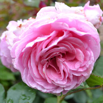 Rosa 'Rosengräfin Marie Henriette' -