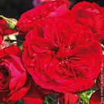 Rosa 'Rotkäppchen' - Roos - Rosa 'Rotkäppchen'