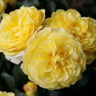 Rosa 'Solero' -