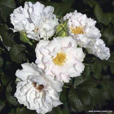 Rosa 'White Roadrunner' -