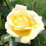 Rosa 'Winter Sun' - Roos - Rosa 'Winter Sun'