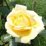 Rosa 'Winter Sun' - Roos - Rosa 'Winter Sun'