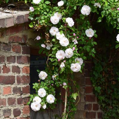 Rosa (witte klimroos) -