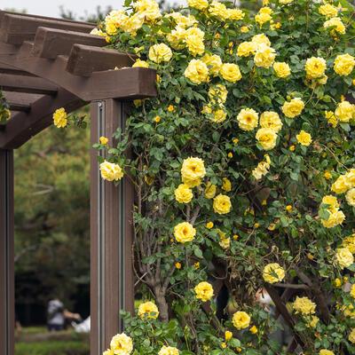 Rosa - climbing (geel) -