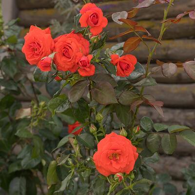Rosa - climbing (oranje) -