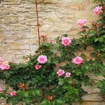 Rosa - climbing (roze) - Klimroos (roze) - Rosa - climbing (roze)