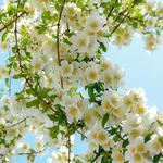 Rosa filipes 'Kiftsgate' - Roos, klimroos - Rosa filipes 'Kiftsgate'