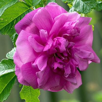 Rosa rugosa 'Hansa' -